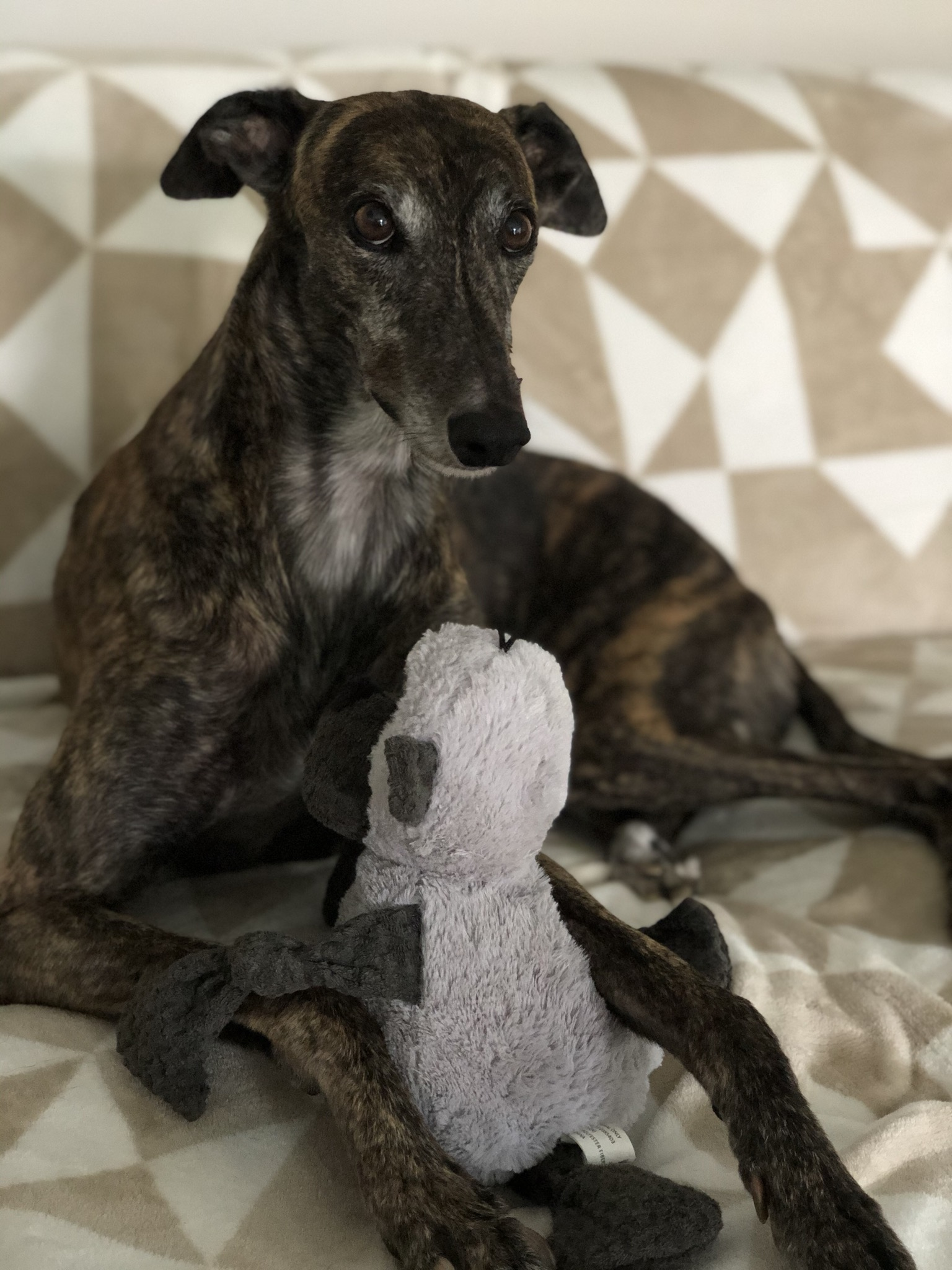 Daisy the brindle greyhound sits on the couch playing with a toy