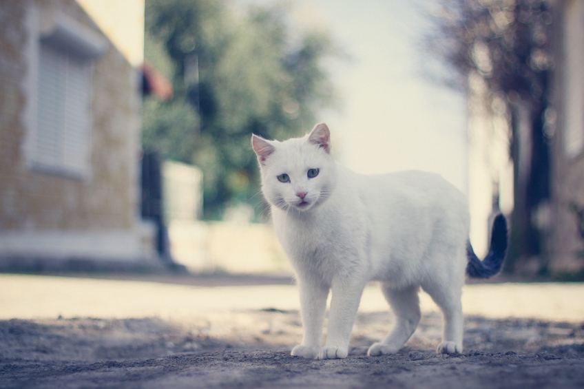 white cat's personality