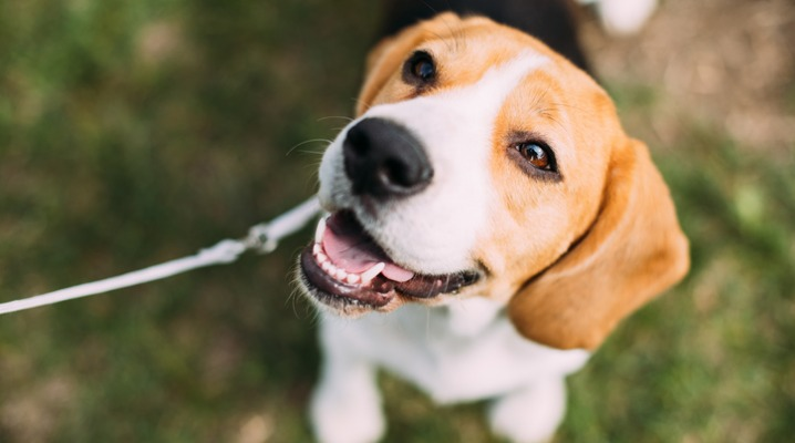 beautiful-tricolor-puppy-of-english-beagle-sitting-on-green-grass-picture-id926877064-1