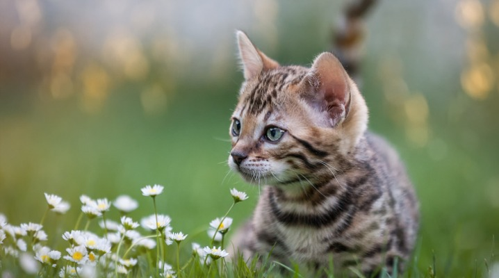 bengal-kitten-in-flower-meadow-picture-id905117504
