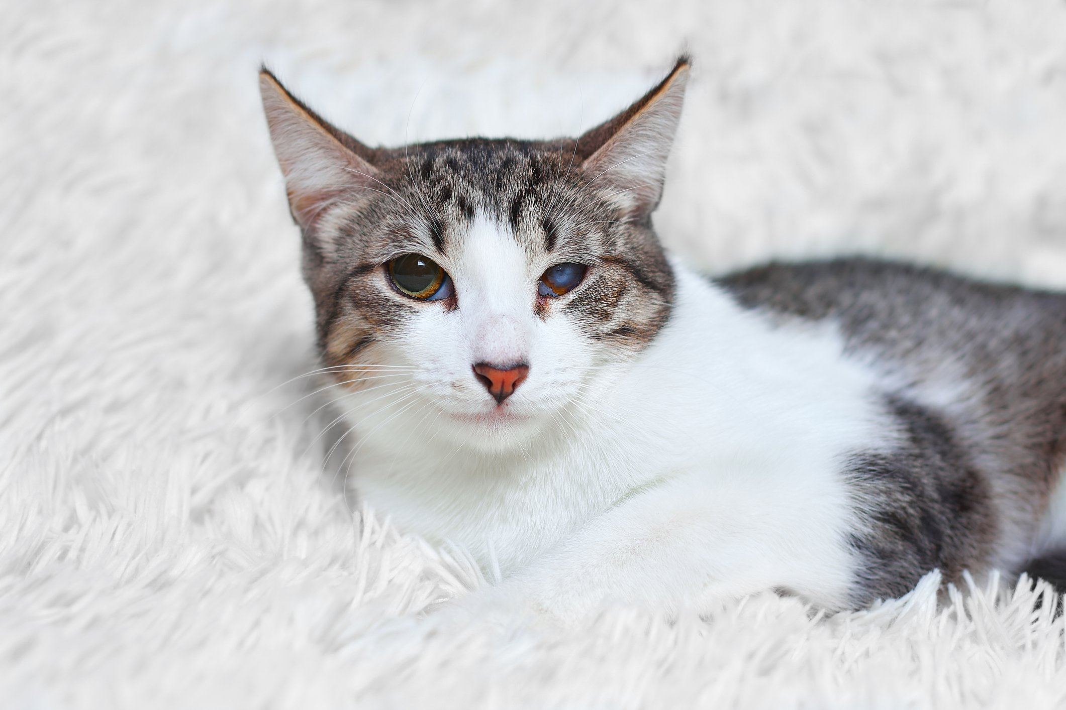 A grey and white cat with one cloudy eye sits on a comfortable white shag carpet