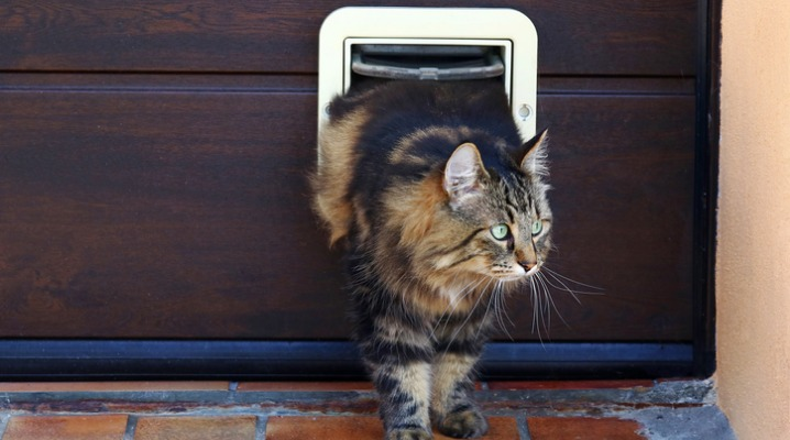Norwegian forest cat leaves the house through a Smart pet door
