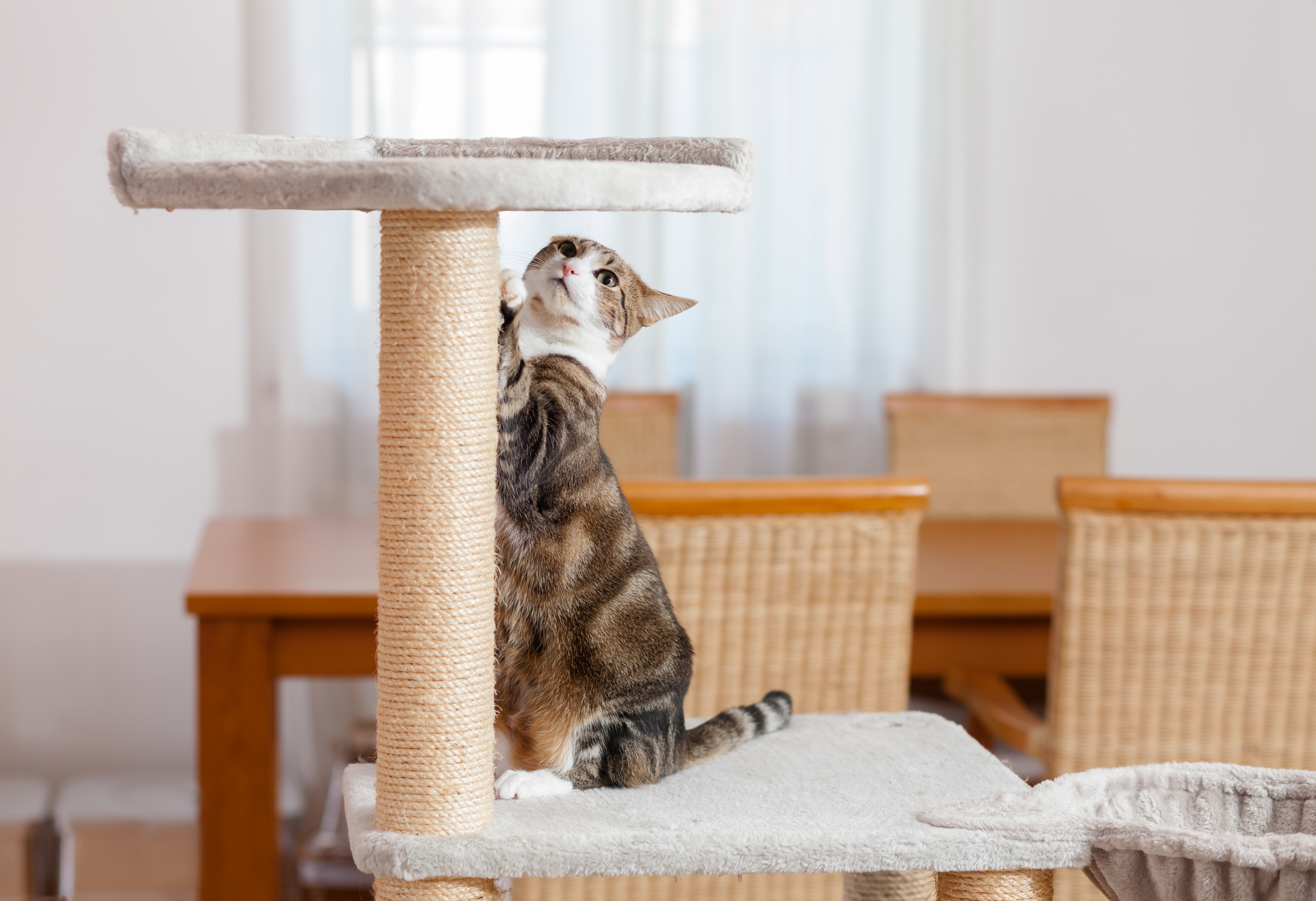 A cat scratches her tower scratching post