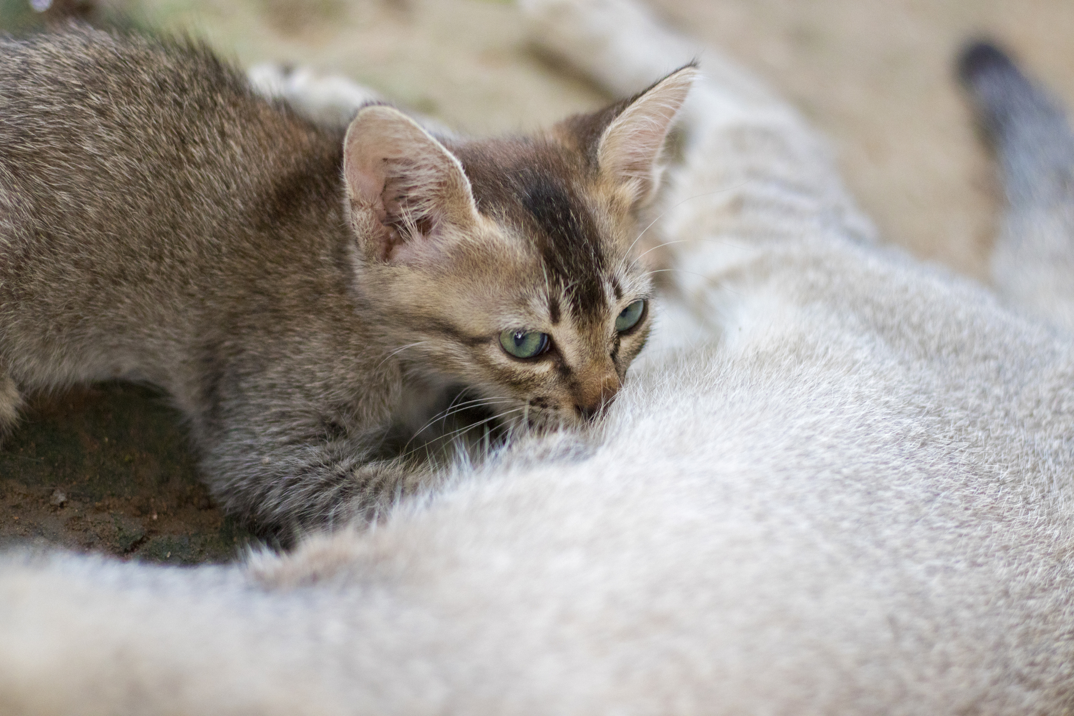A cute brown kitten suckles from its mother