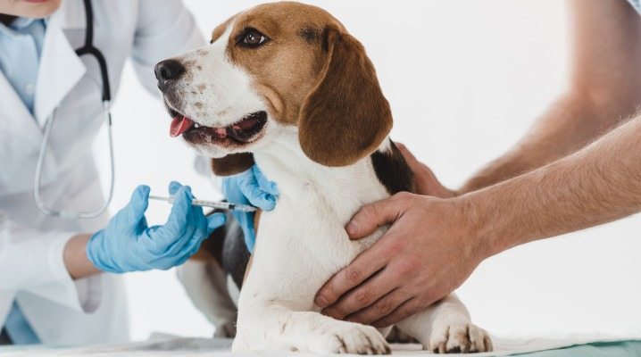A beagle gets a booster shot from the veterinarian while his owner holds him