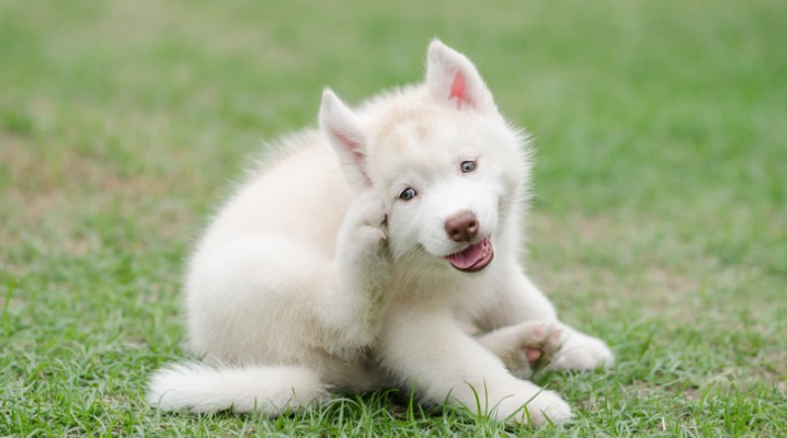 cute-siberian-husky-puppy-scratching-picture-id465028162