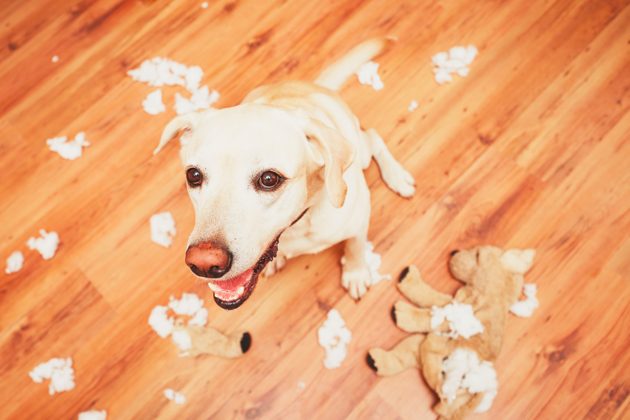 Golden Labrador looks excited after destroying a plush toy