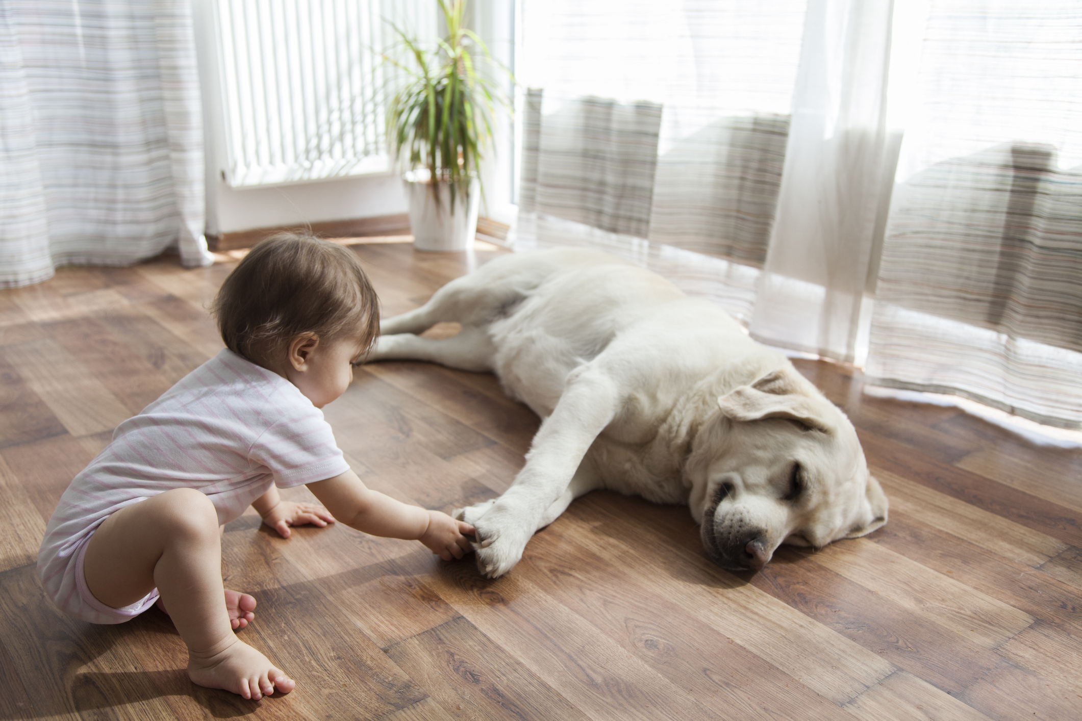 Toddler curiously plays with an old Labrador in a brightly lit family room