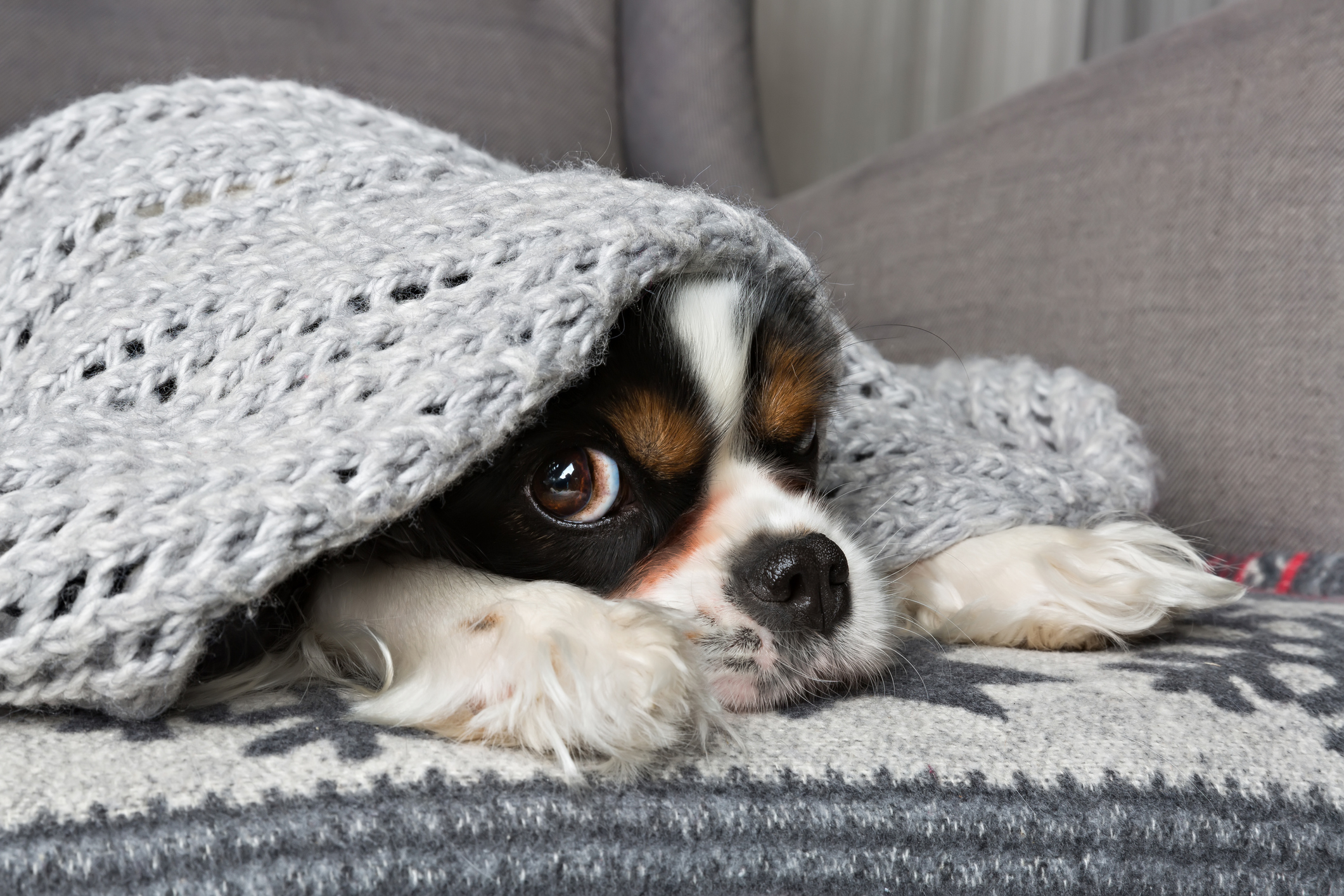 A cold King Charles spaniel puppy hides under a blanket