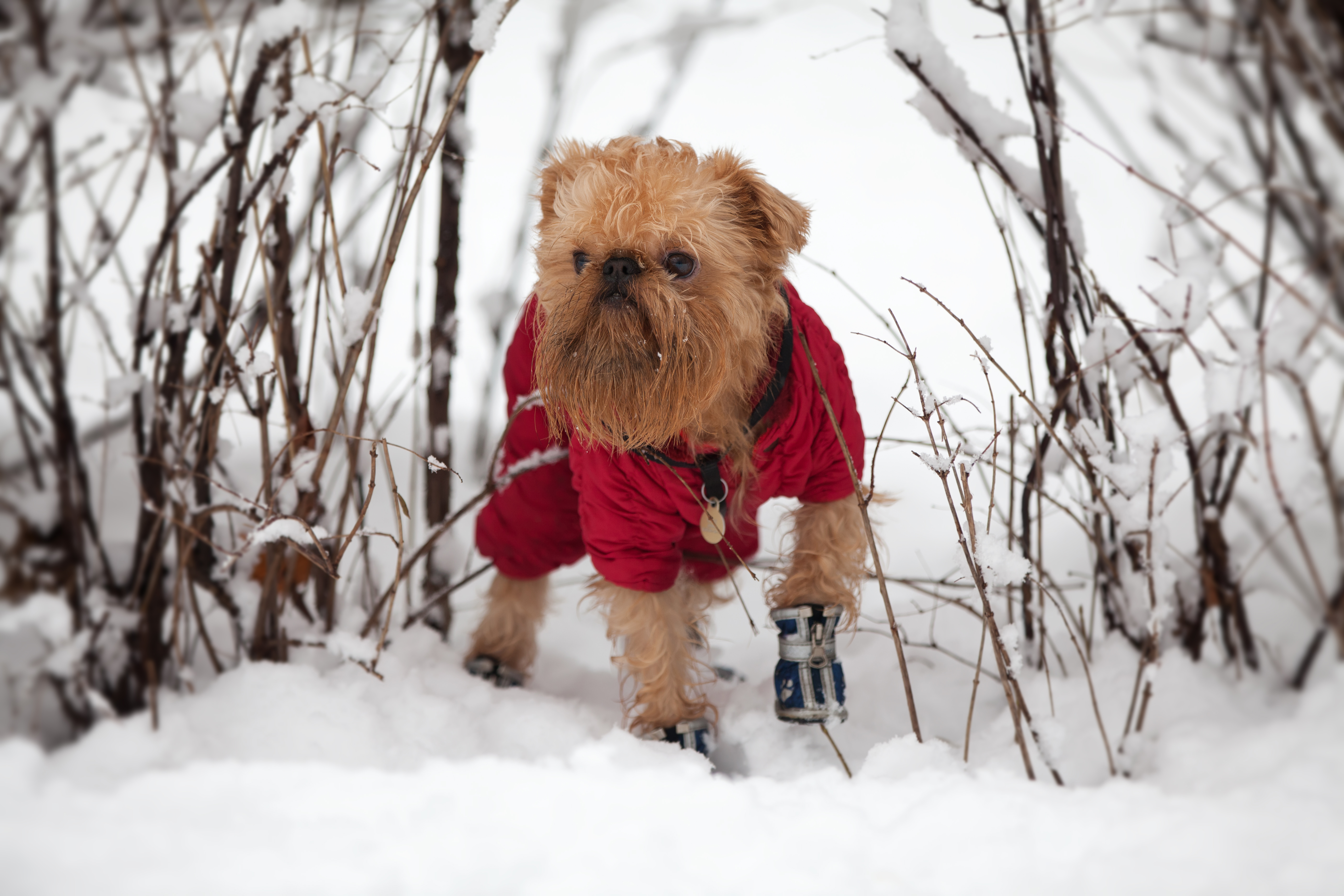 dog-in-booties