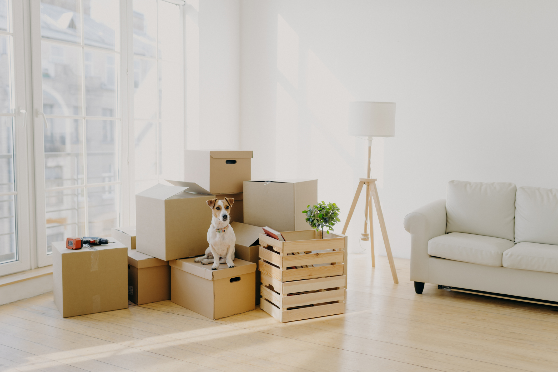 A Jack Russel terrier sits on moving boxes in a large white living room