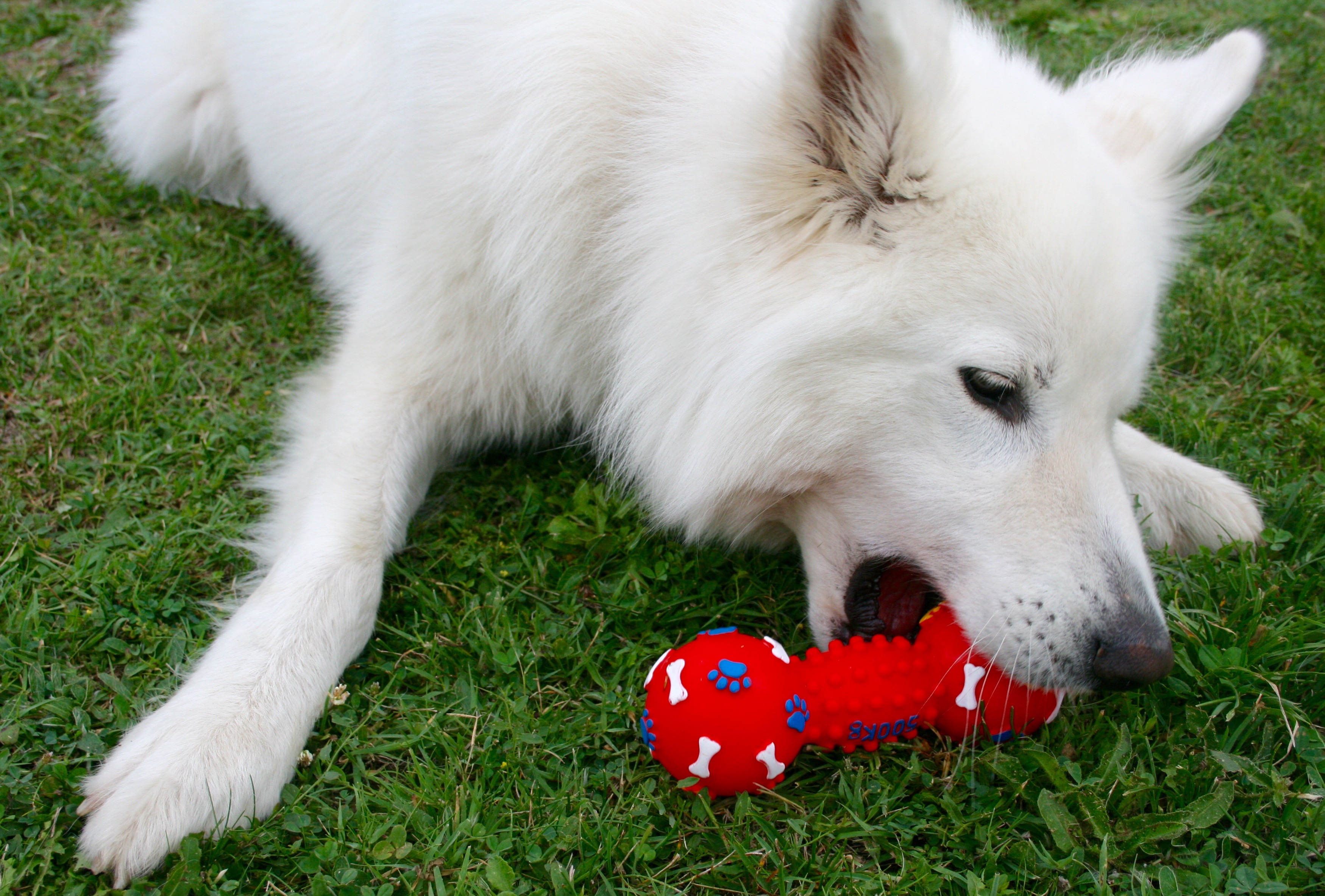 Fluffy white dog chews on a red squeak toy in the grass