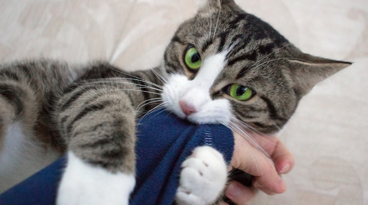 House cat with bright green eyes play biting owner's arm