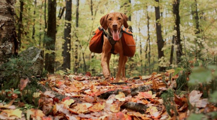 happy-vizsla-in-backpack-picture-id920721052