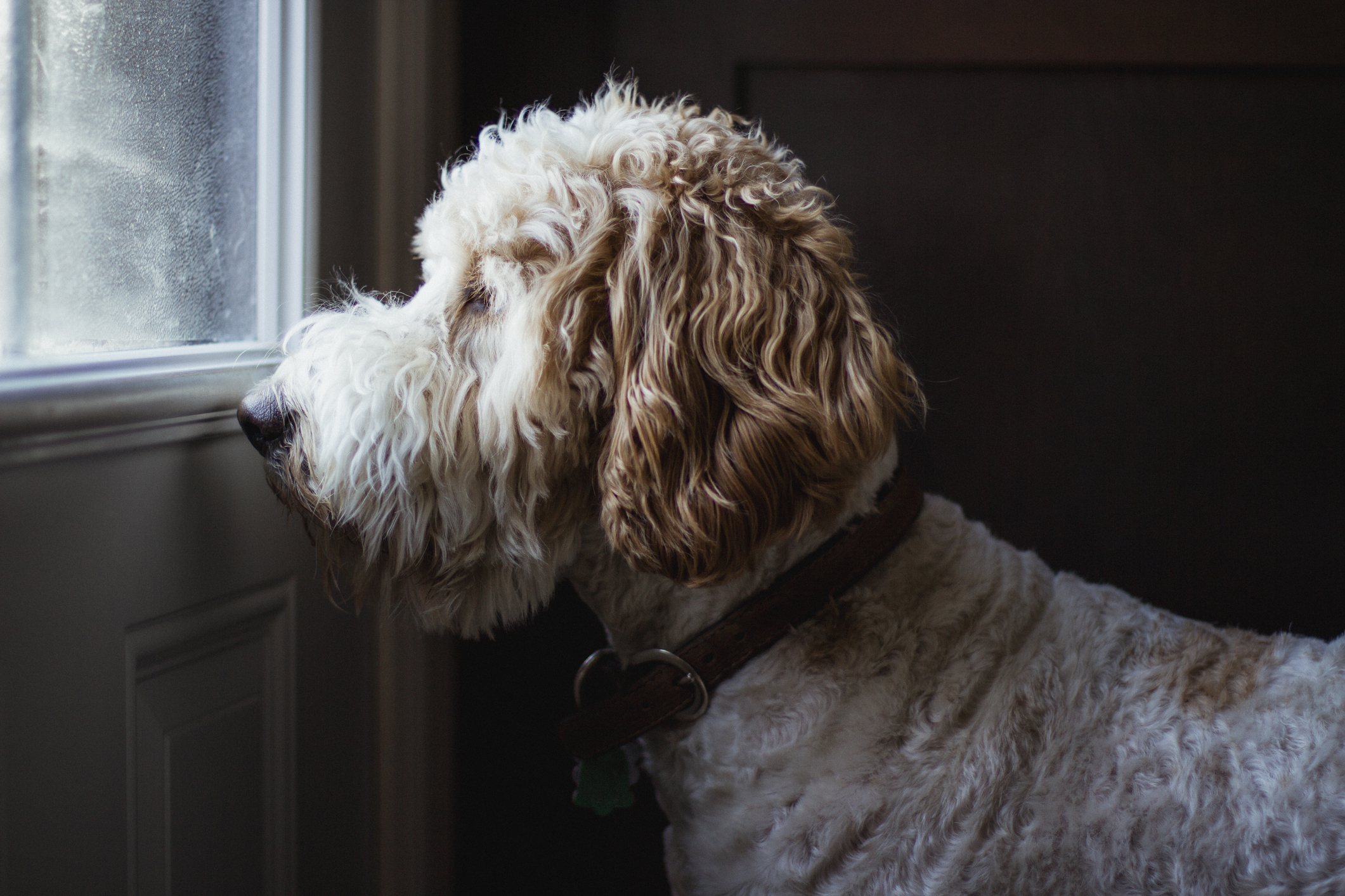 A poodle mix waits at the door for his owners to come home