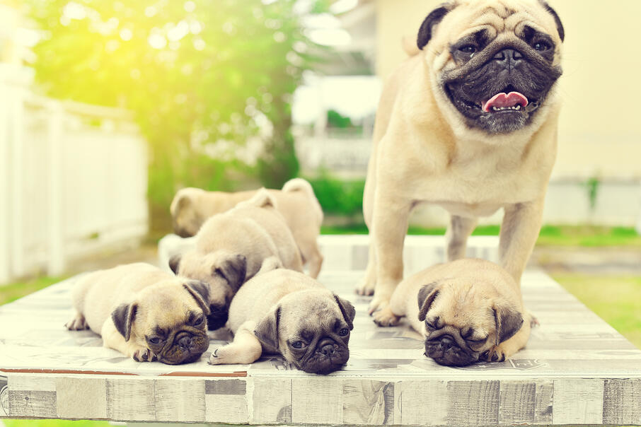 A happy pug with her newborn puppies