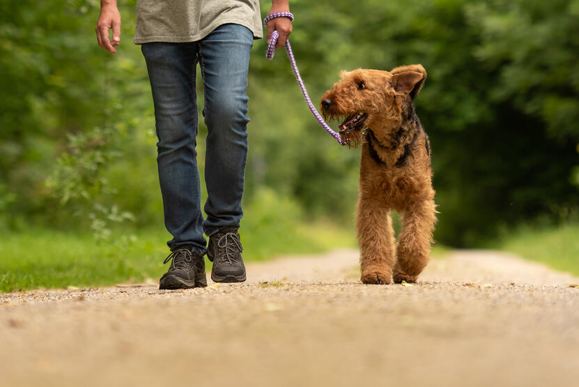 A man walks a happy Airedale terrier