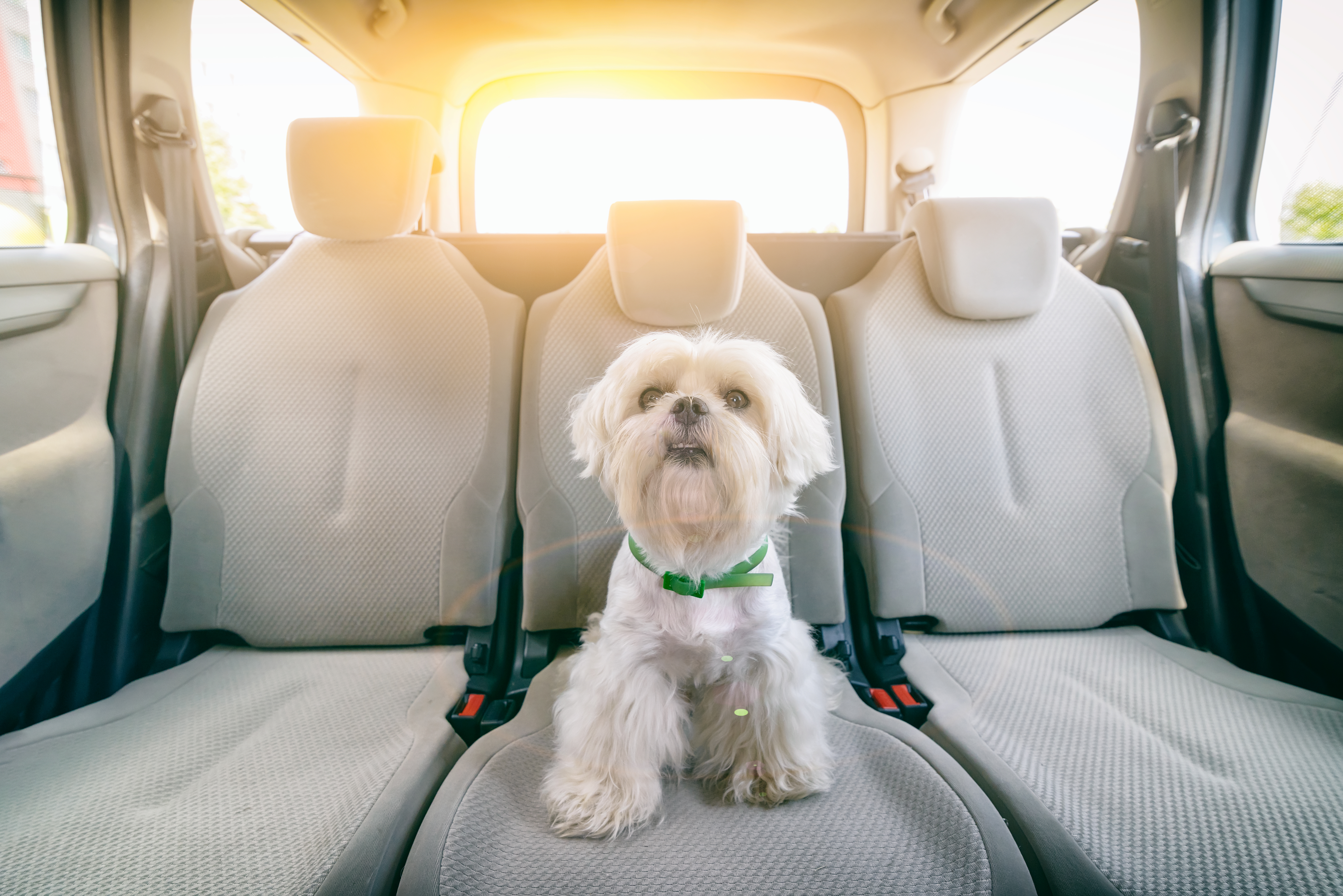Cute Shih Tzu sits in the car on a sunny morning