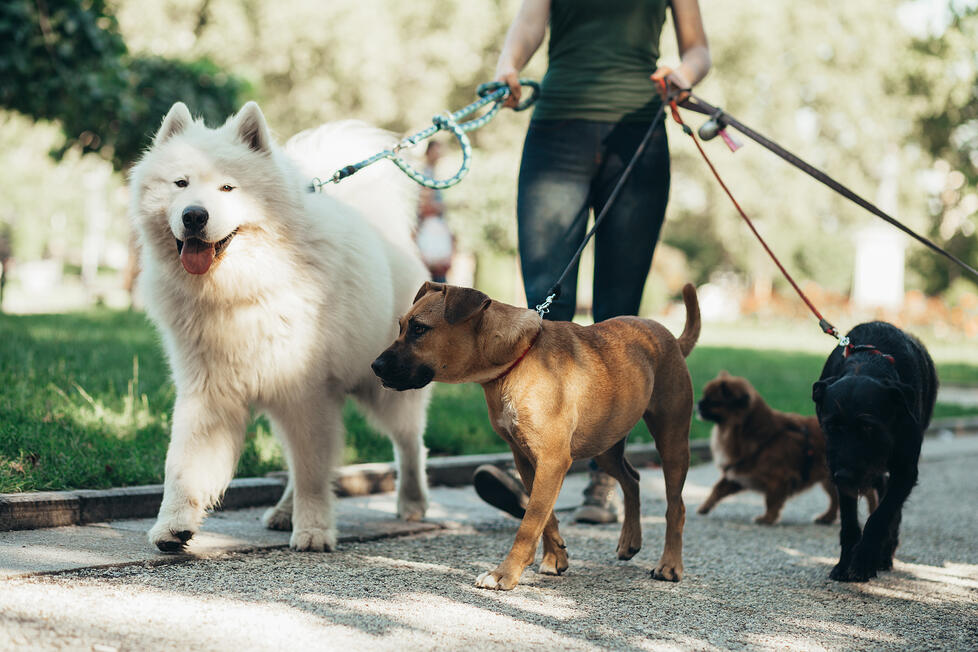 A woman walks four different sized dogs all at the same time