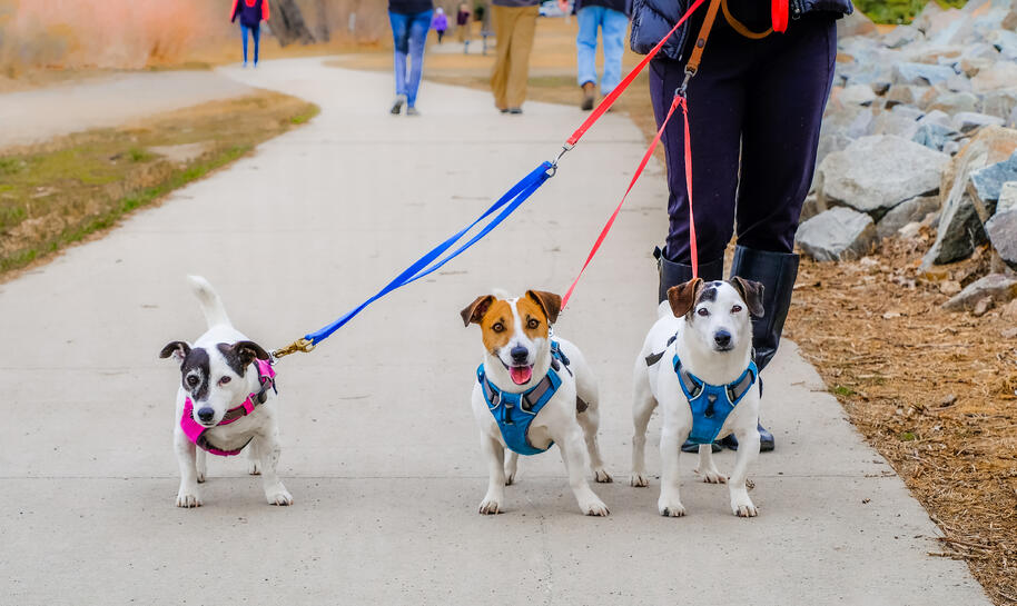 A woman walks her three Jack Russell terriers