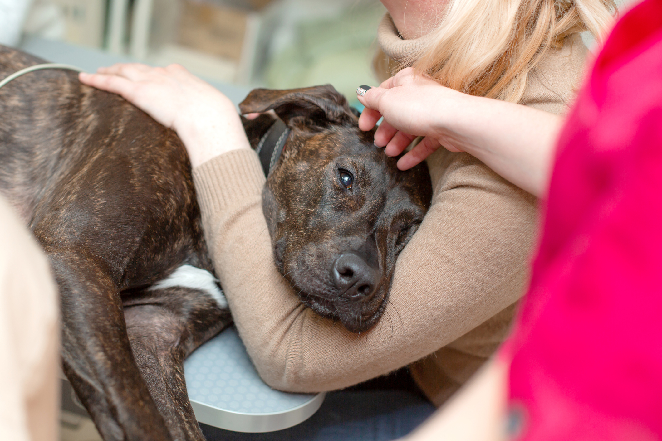 Sad brindle dog held by her owners at the vet
