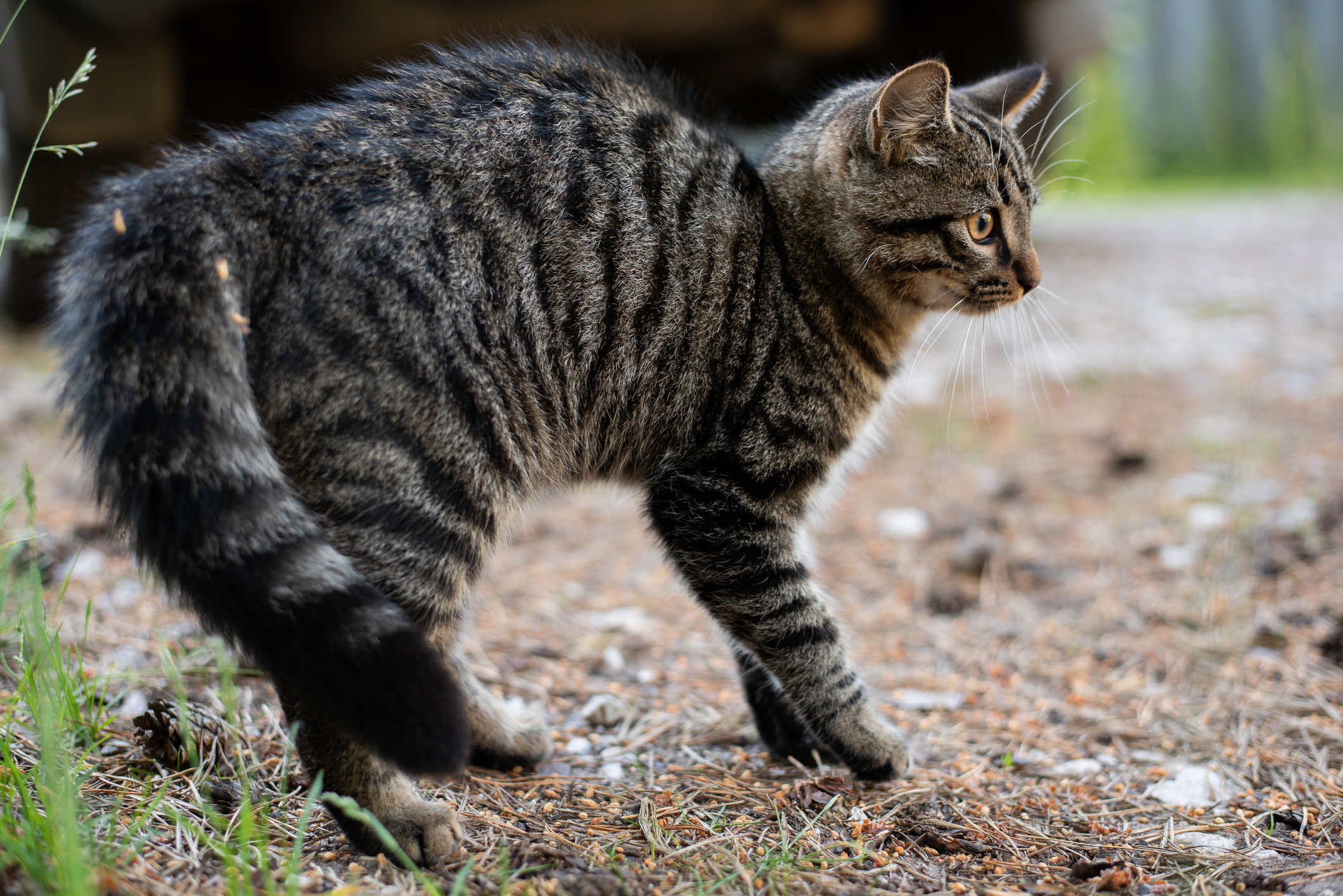 A brown tabby cat gets startled while outdoors
