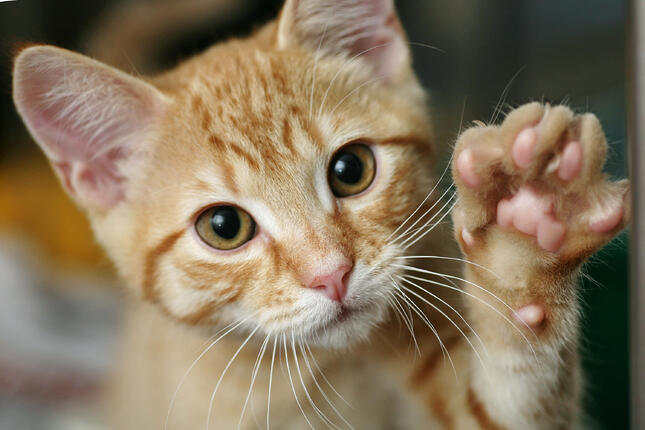 Cute orange tabby kitten reaches out his paw