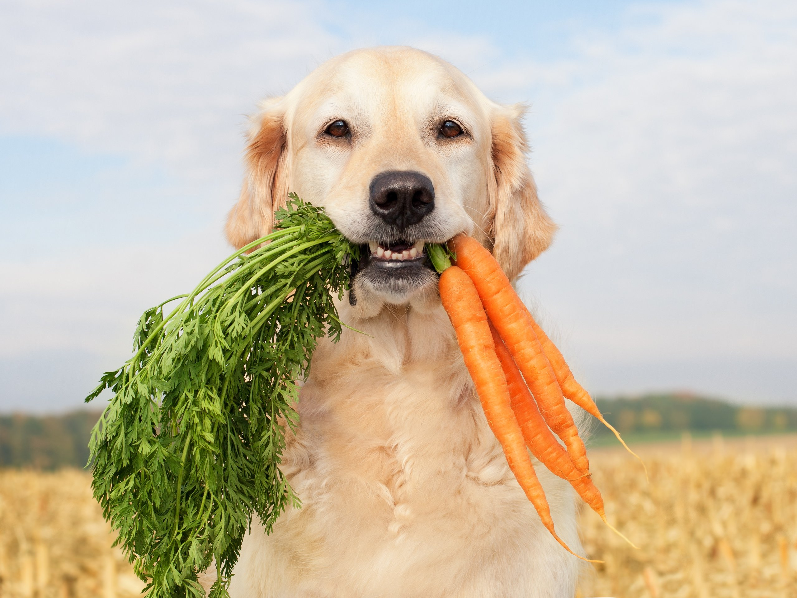 Golden retriever with a mouth full of carrots