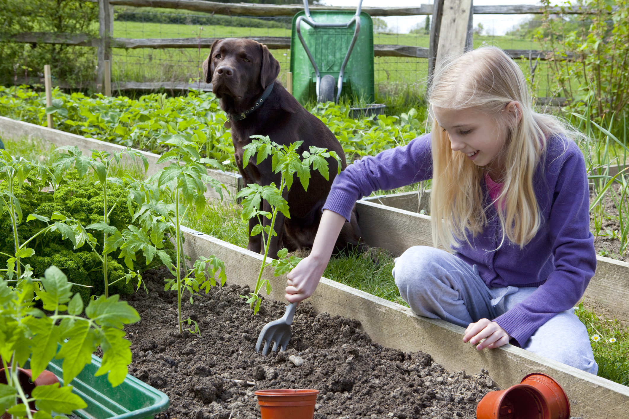 A chocolate lab sits by the vegetable garden while a young girl digs