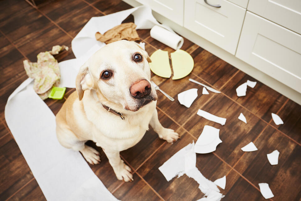 Guilty Labrador retriever getting scolded for making a mess in the kitchen