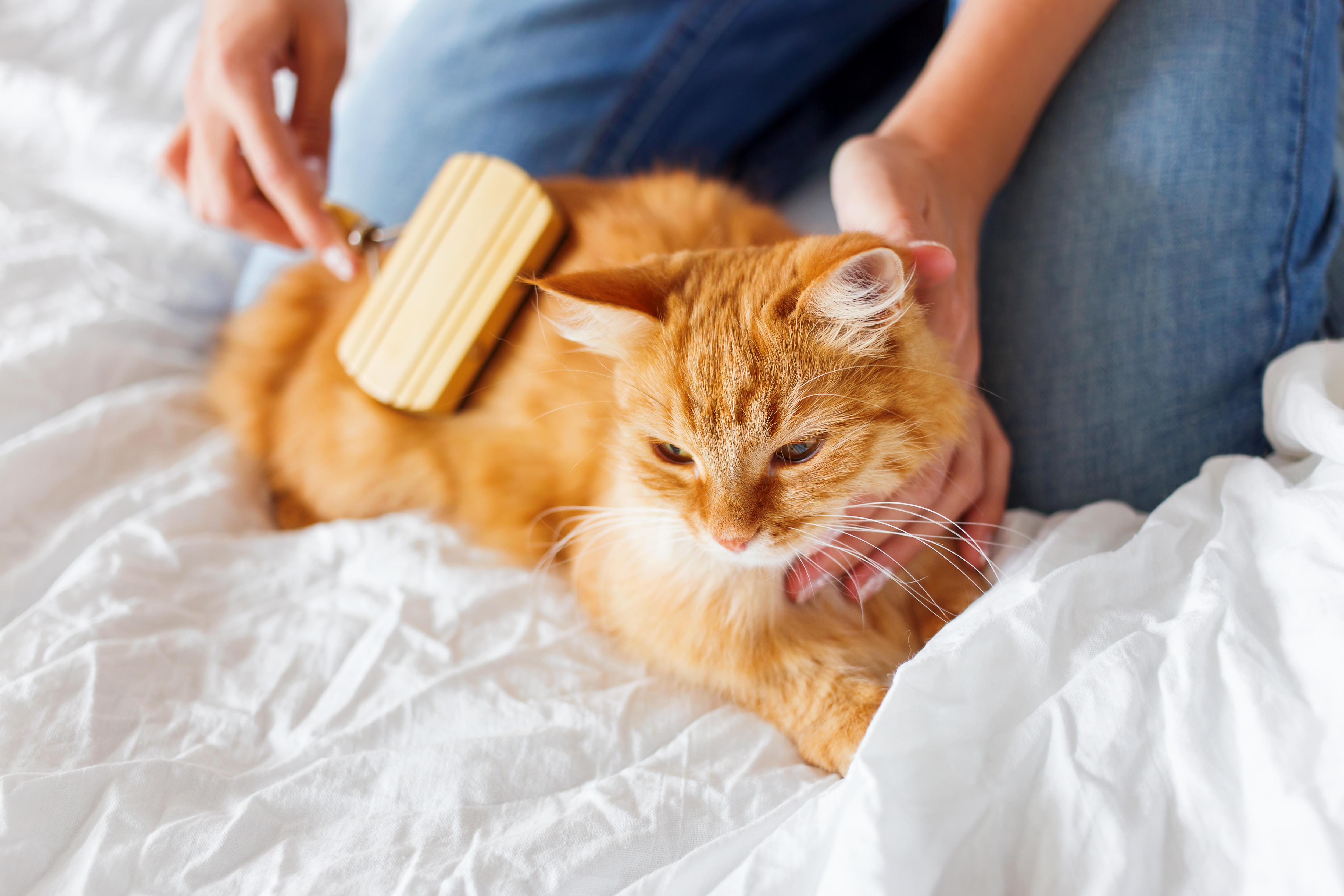 An orange cat enjoys getting brushed by his owner