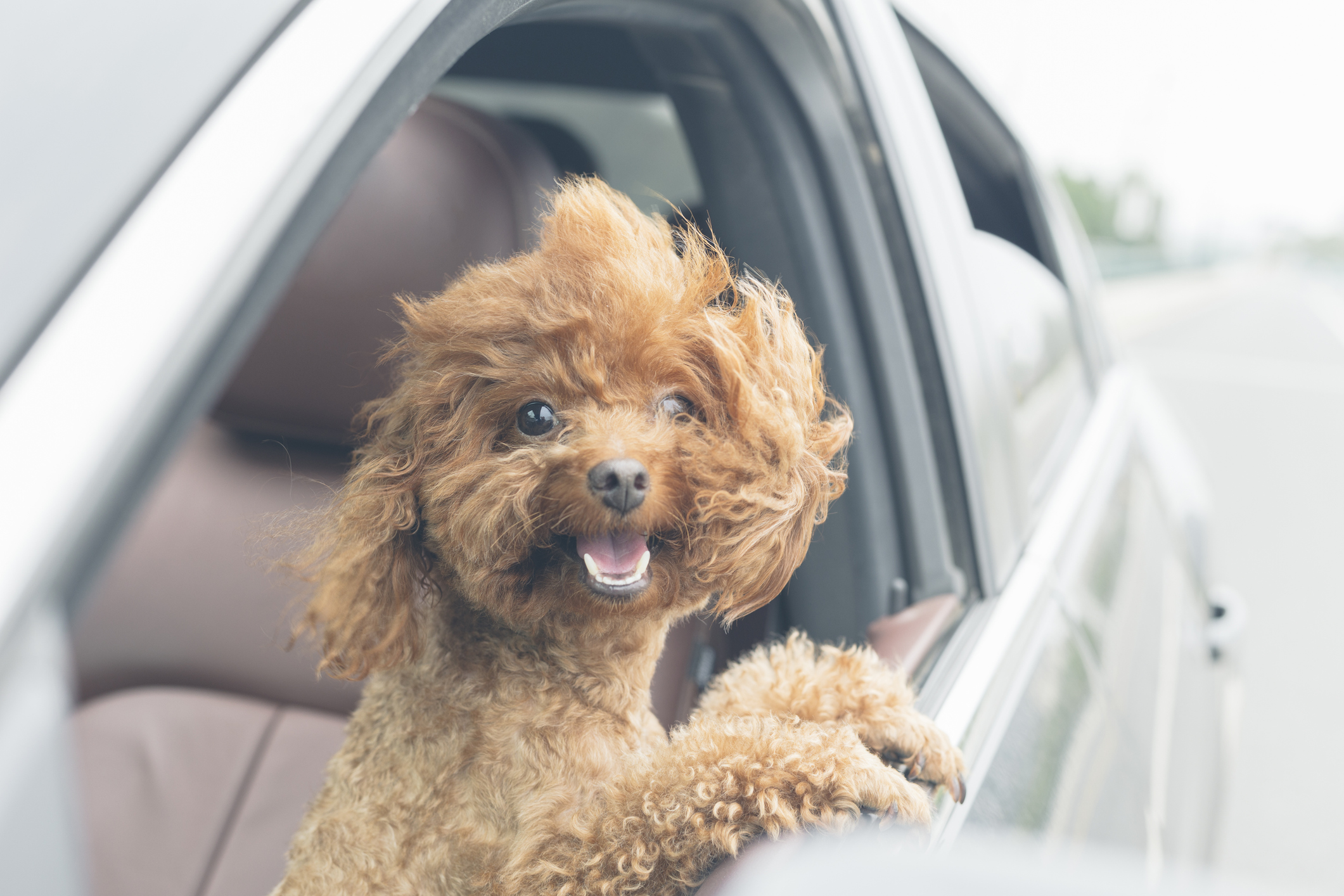 A cute poodle mix sticks his head out of car window