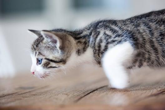 Cute little grey tabby kitten acting strange