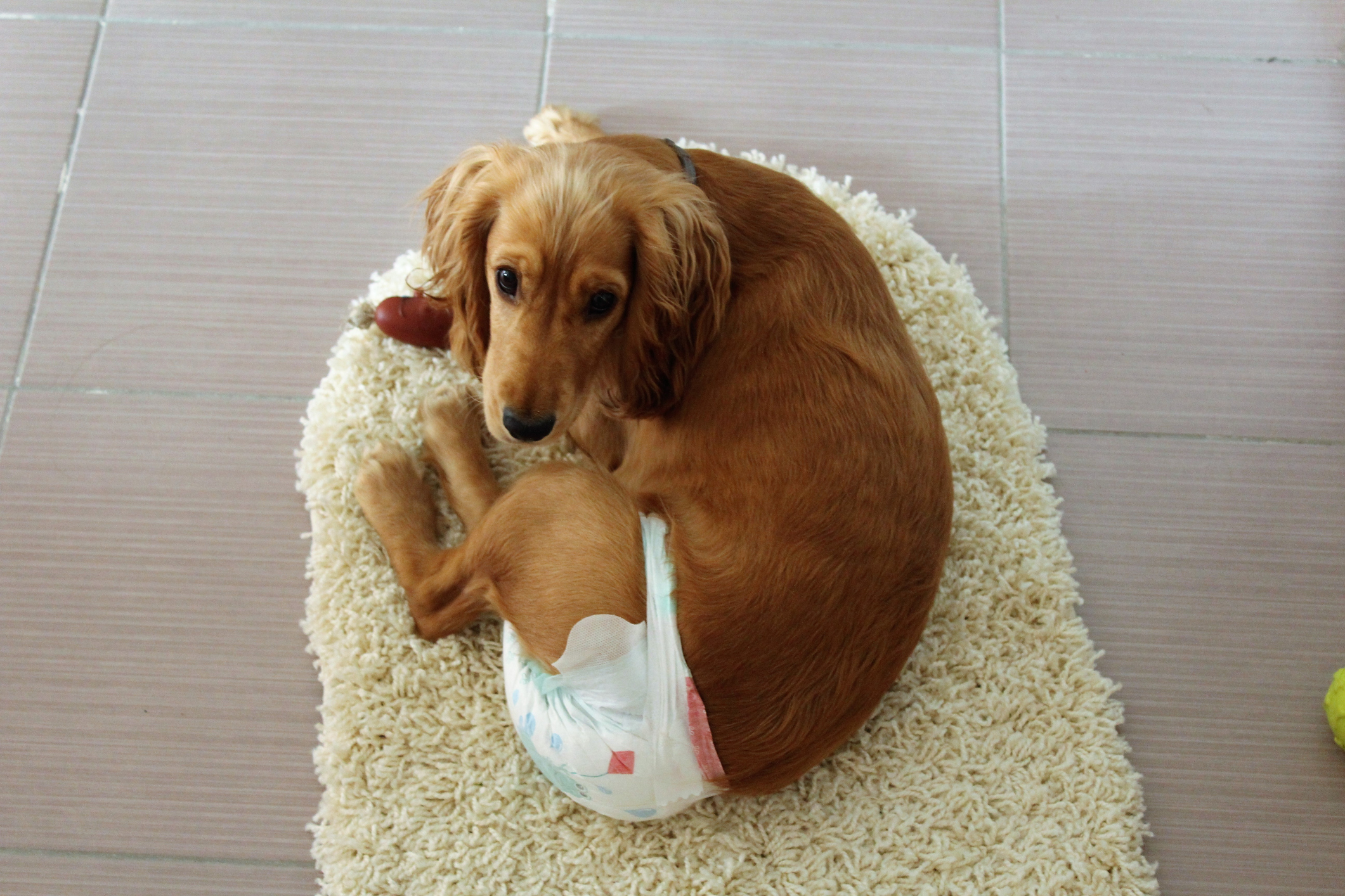 A long haired Dachshund wearing a dog diaper