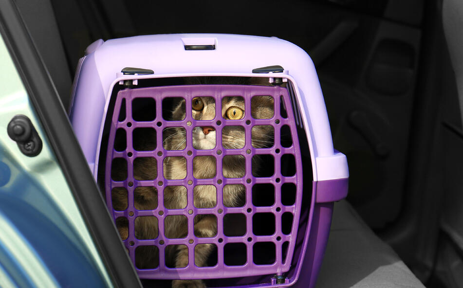 A wide-eyed cat in a purple pet carrier gets ready to go for a car ride