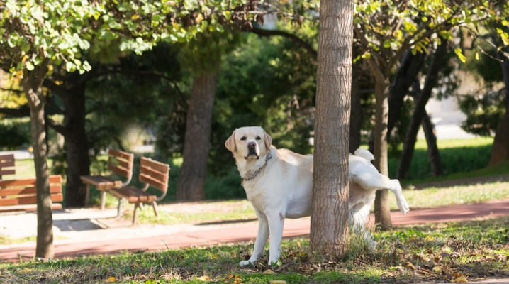 labrador-peeing-at-a-tree-in-a-park-picture-id499934420