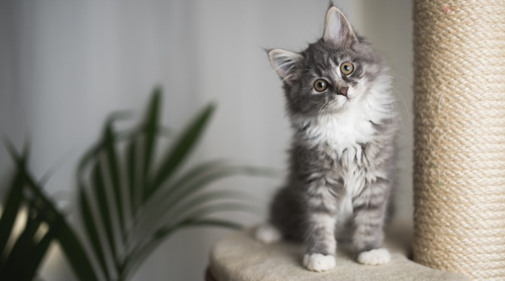 maine-coon-kitten-on-scratching-post-picture-id1085283872