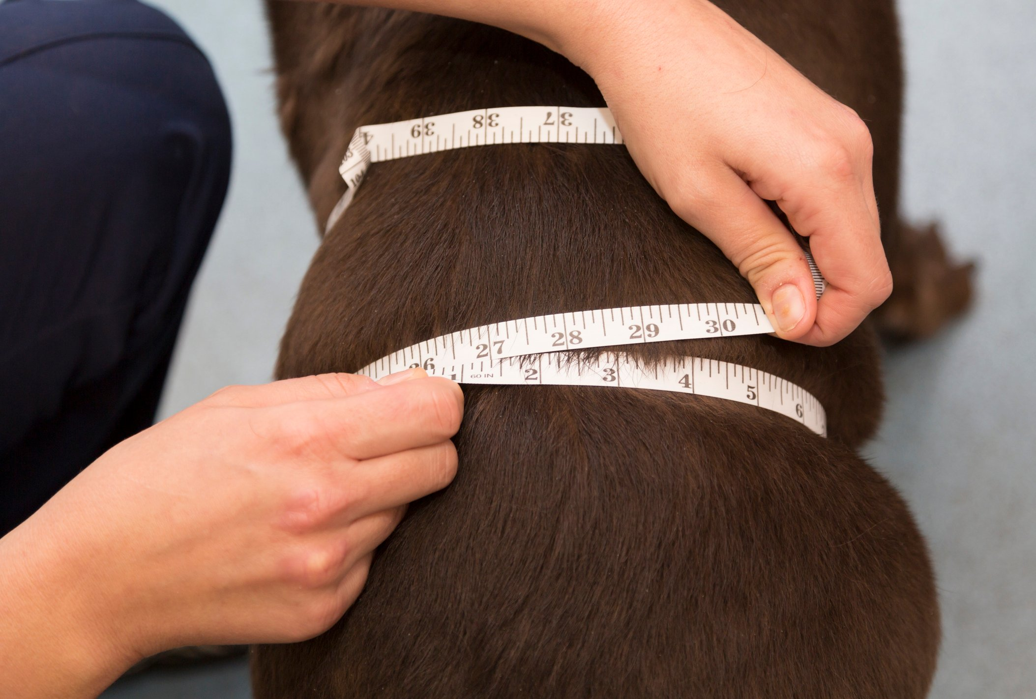 An obese brown dog getting measured with tailor's measuring tape