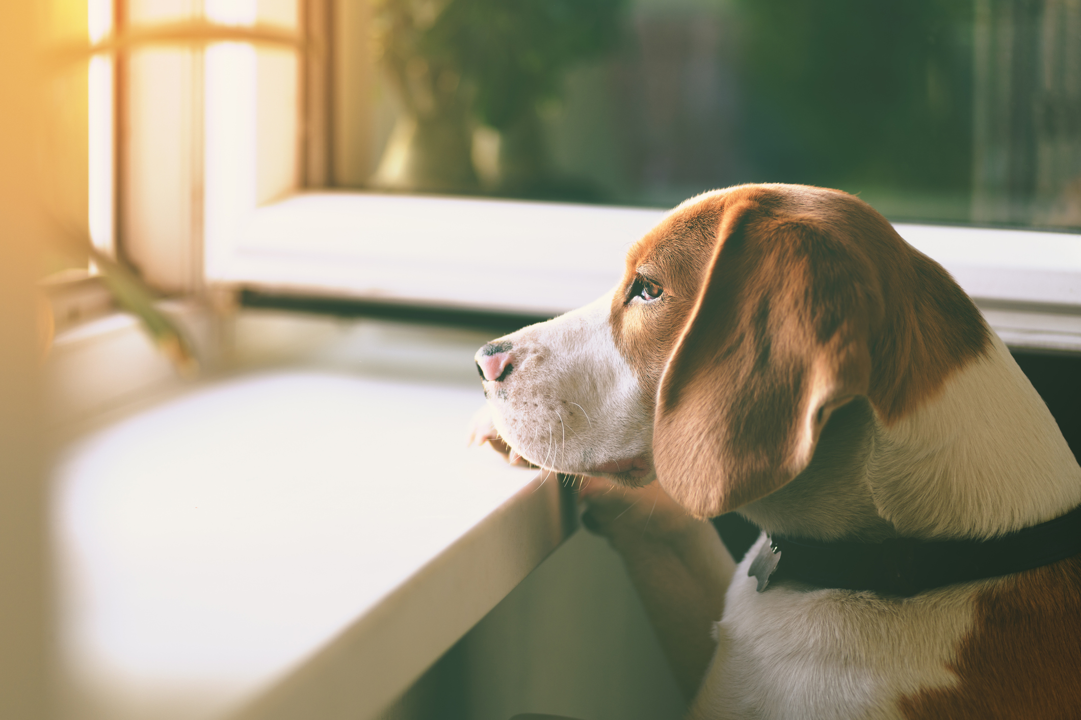 A sad-beagle looking out the window in the living room