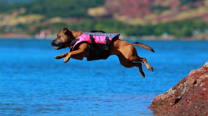 staffordshire-bull-terrier-diving-picture-id930137864