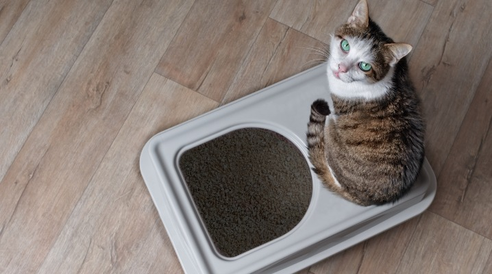 tabby-cat-sitting-on-a-topentry-litter-box-and-looking-curious-up-to-picture-id1095078312