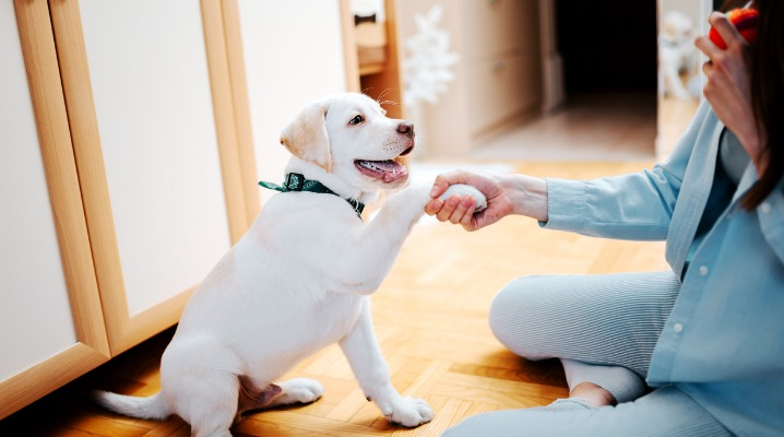 Woman teaching her Labrador retriever puppy to give a paw