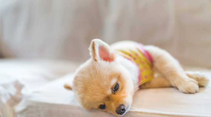 tired-and-sleepy-pomeranian-dog-sleeping-on-sofa-picture-id609059530