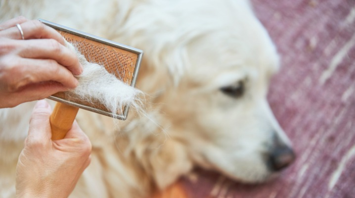 woman-combs-old-golden-retriever-dog-with-a-metal-grooming-comb-picture-id915214550