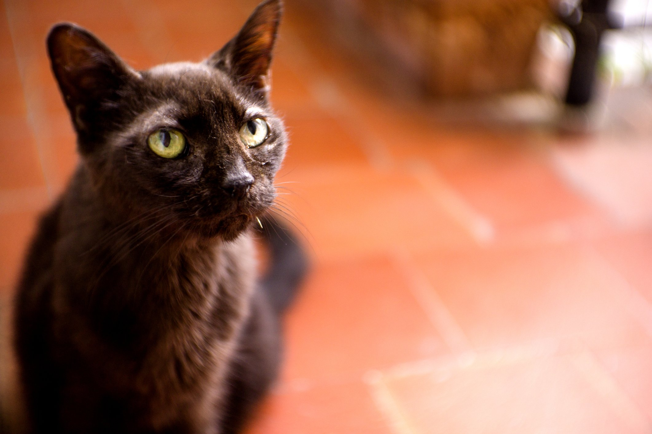 Understand Your Options for Treating Hyperthyroidism in Cats